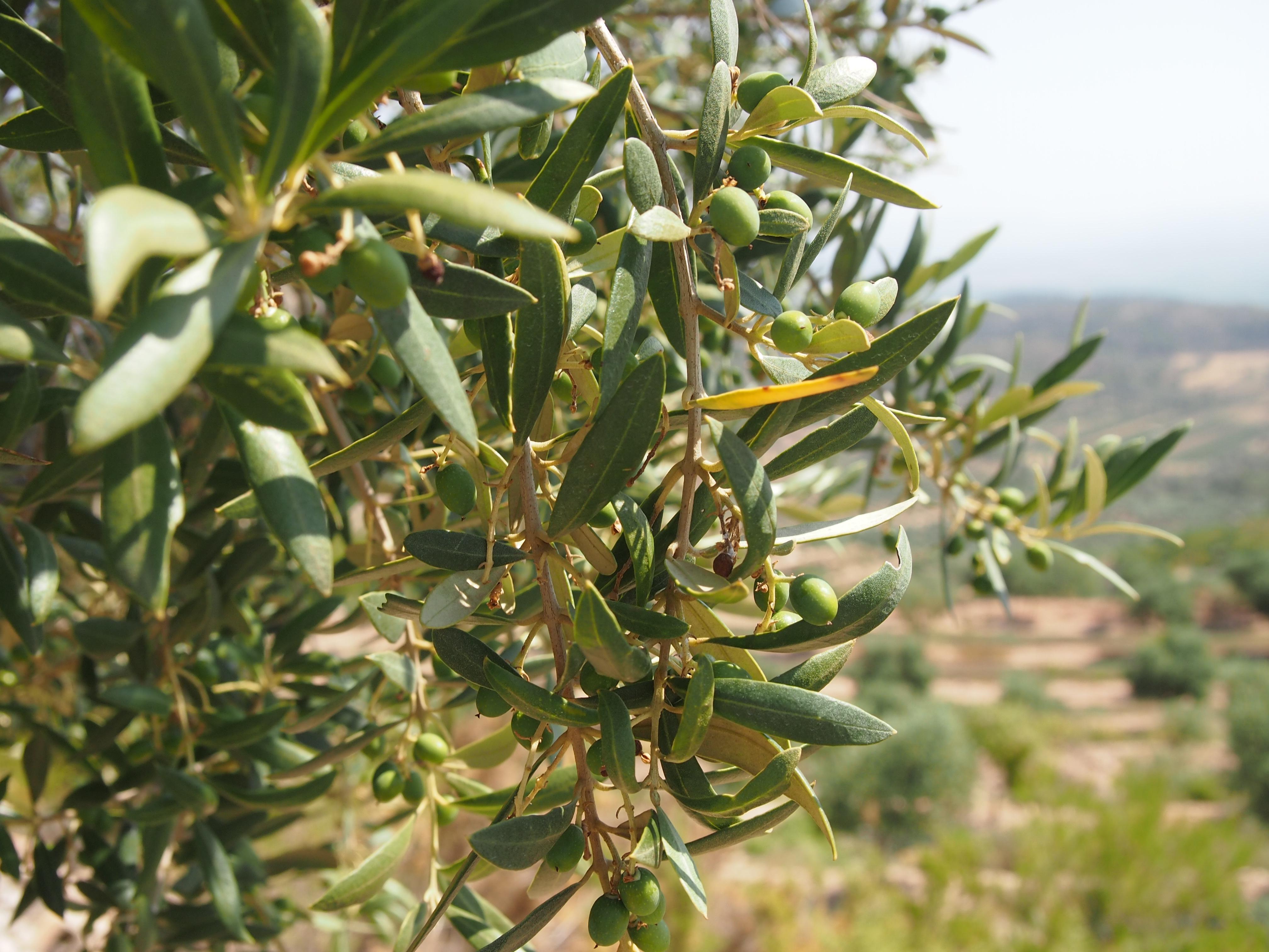 Dissenyem la imatge d'un oli d'oliva Premium